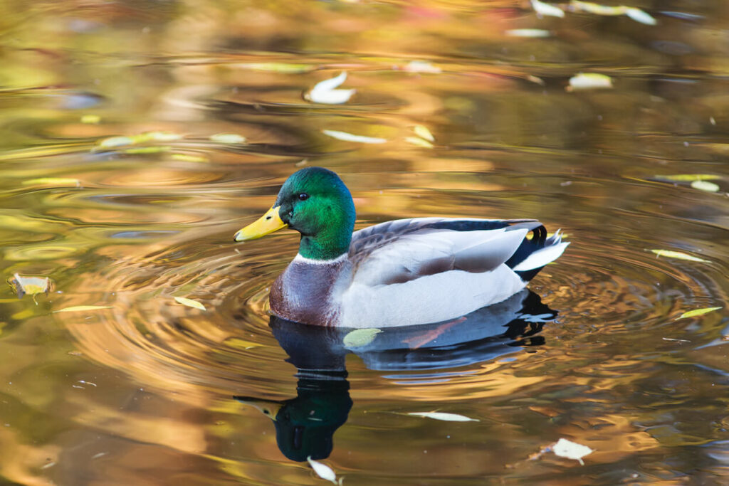 male-duck-swimming-in-water-representing-facilitating-a-training-session